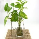 golden pothos,air purify,oxygen