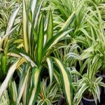 spider plant purify indoor air